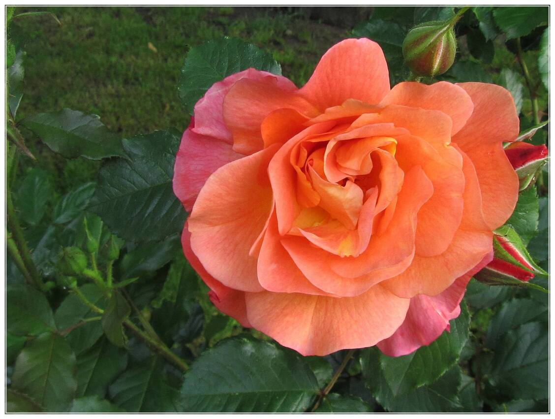 LES  ROSES  OGRANGEES  No3