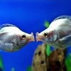 kissing-poisson