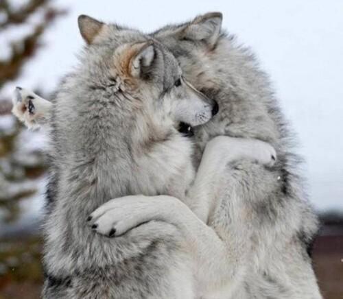 (-*♥*-) Une sauveteuse passe une laisse autour du coup d'un chien errant de 50 kilos, mais l'animal est bien trop fort pour elle
