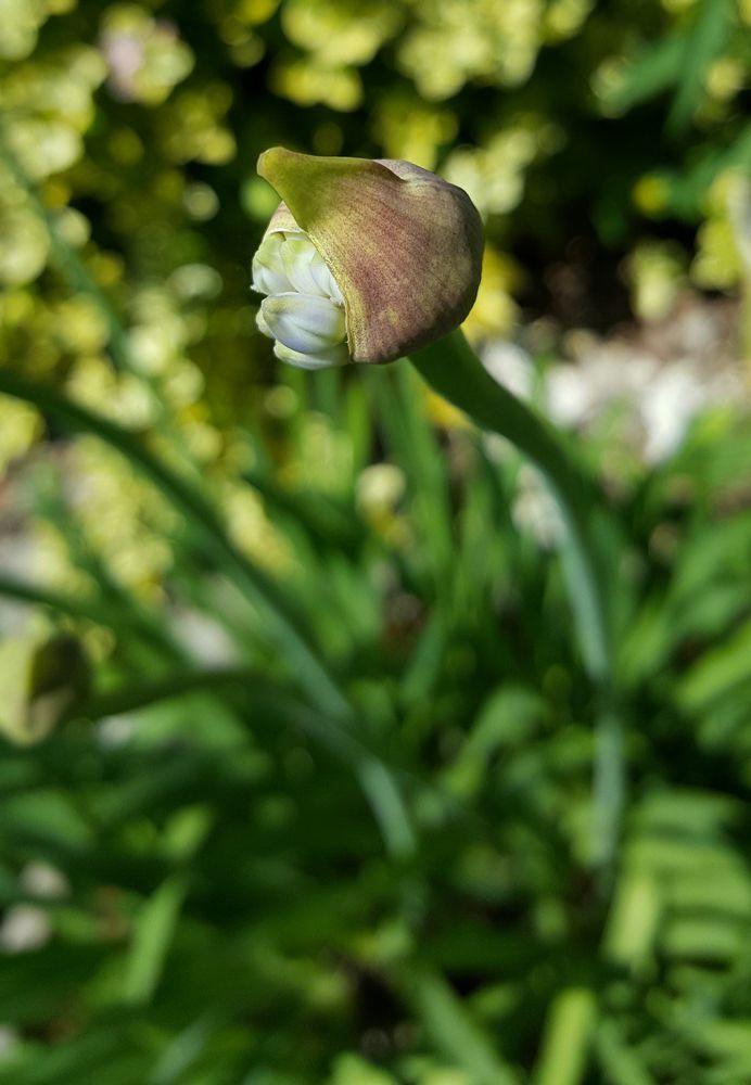 Fleurs de mon jardin : agapanthes en boutons...