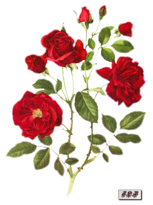 Tubes : Roses