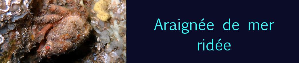araignée de mer ridée