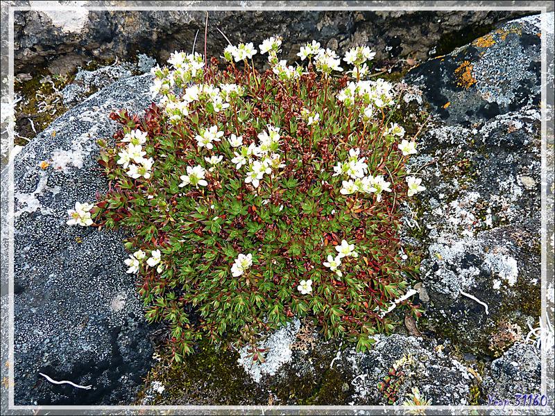 Saxifrage à trois dents, Three-toothed saxifrage (Saxifraga tricuspidata) - Qariaragiuk - Somerset Island - Nunavut - Canada