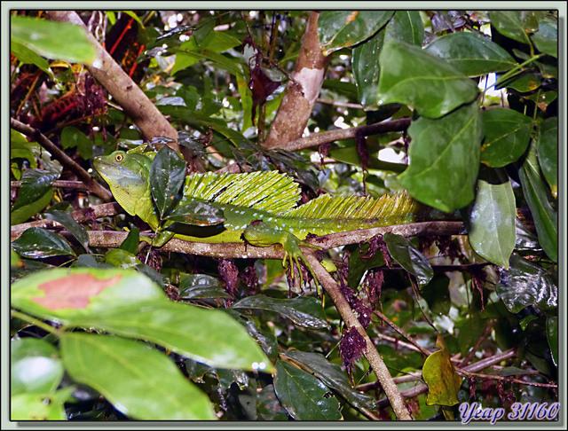 Blog de images-du-pays-des-ours : Images du Pays des Ours (et d'ailleurs ...), Lézard basilic à plumes (Basiliscus plumifrons) - Tortuguero - Costa Rica