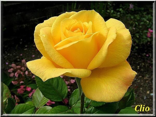 ROSES 1 (3)