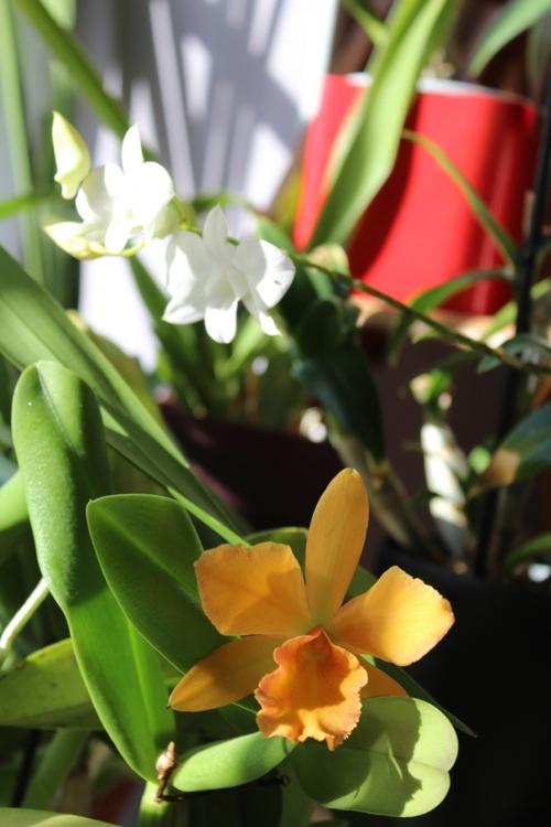 Nouvelle orchidée au programme