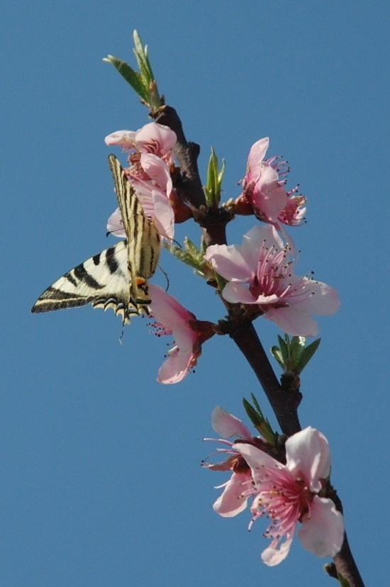 fleurs-peche-et-papillon-r