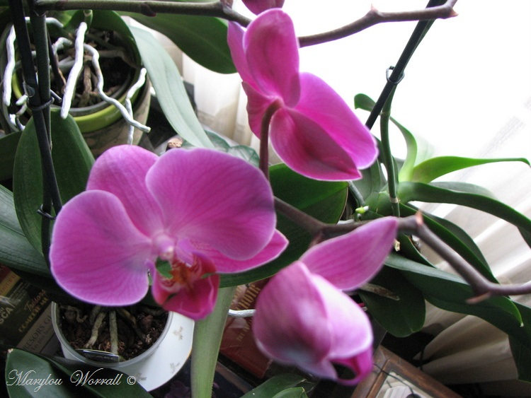 Orchidée fuchsia