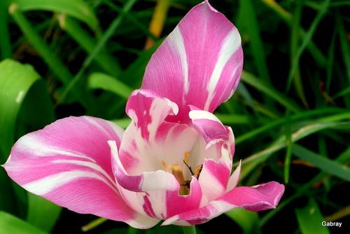 Souvenirs de tulipes
