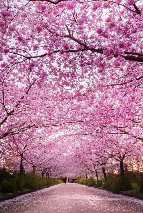Les cerisiers au Japon