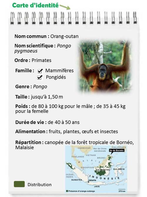 MAI : l'orang-outan