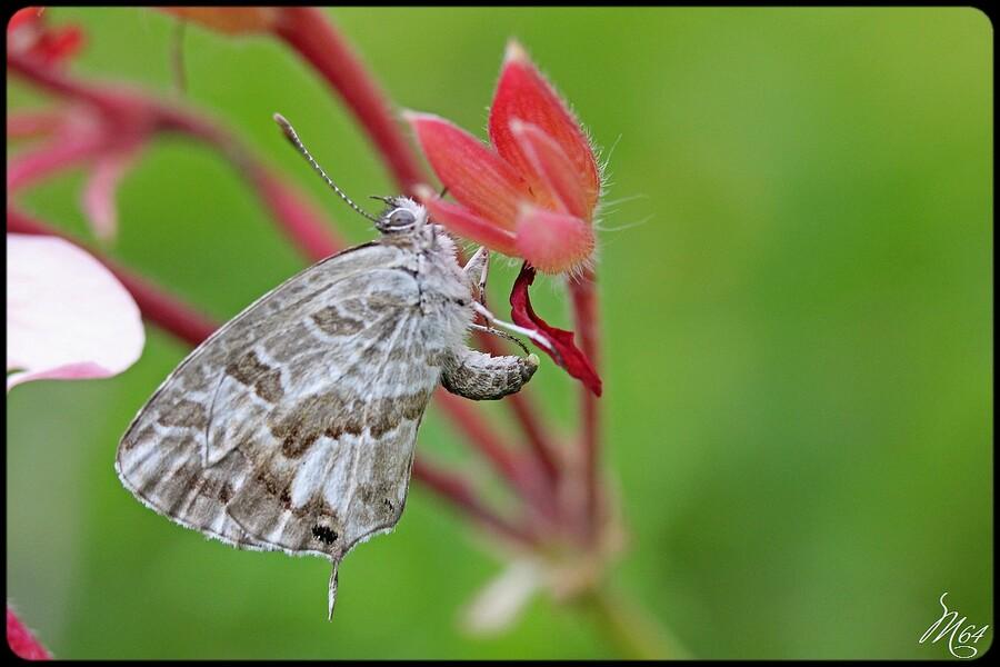 Papillon: le brun du pélargonium