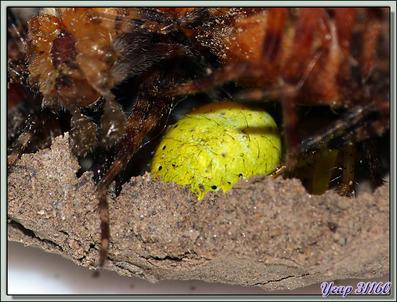 La saga de la Pélopée courbée (Sceliphron curvatum), guêpe chasseuse d'araignées (partie 2) - Verdun-sur-Ariège - 09