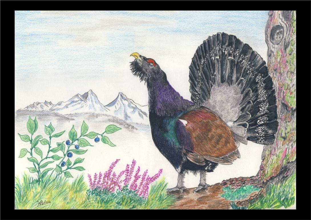 Dessin en Prismalo et autres crayons de couleur. Le Grand Tétras (Tetrao urogallus), ou Grand coq de bruyère, Phasianidae
