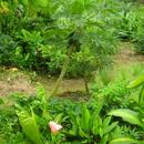 Un papayer, entre autres... - Photo : Fritz