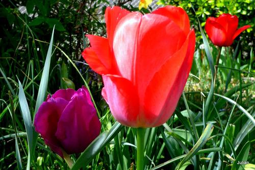Mes belles tulipes