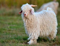 Ferme de production de laine mohair