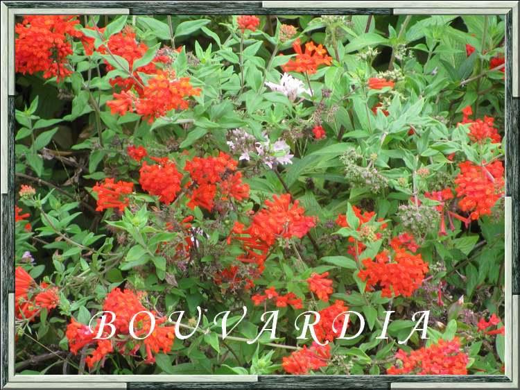 Fleurs cultivées : Bouvardia