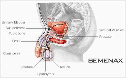 semenax, obat mandul, cara cepat hamil, obat cepat hamil, obat penyubur