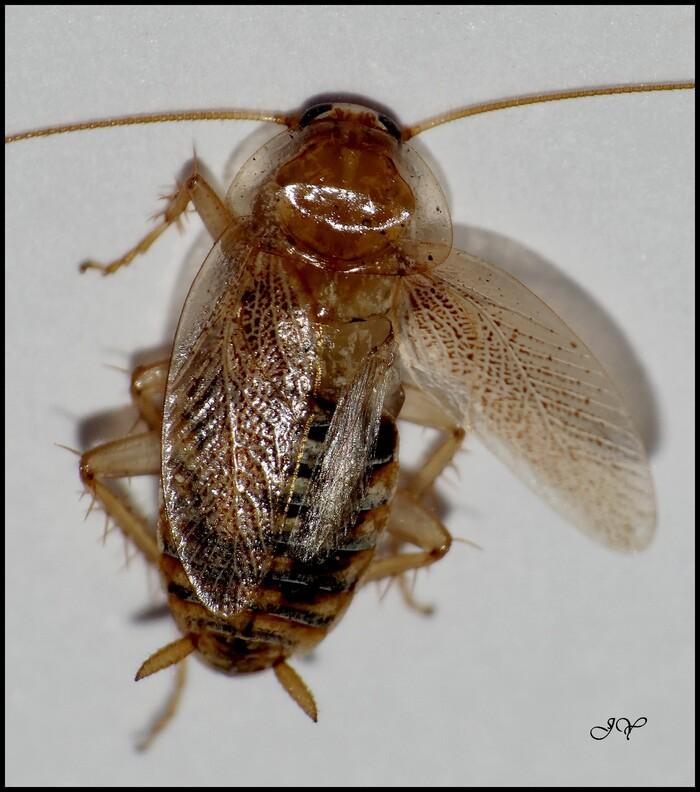 Ectobius pallidus.