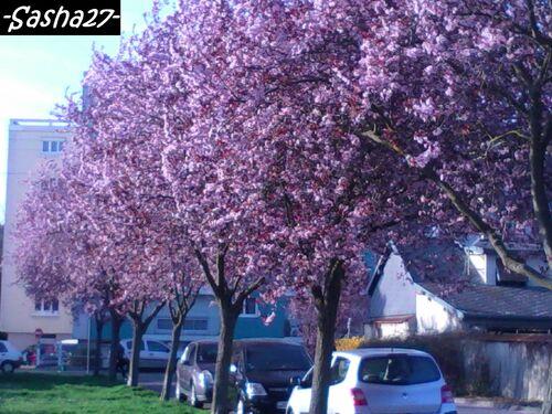 Fleurs Roses = Cerisiers