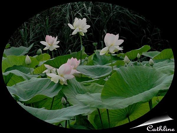 fleurs-de-lotus.jpg
