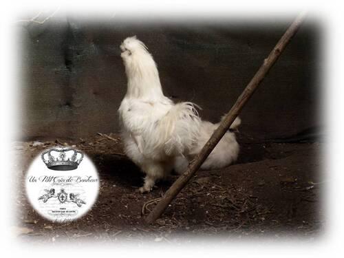 Mon nouveau coco : Silkie/Poule soie paint