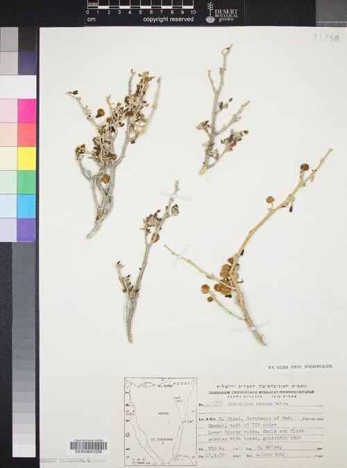 0 Une plante biblique : Zygophyllum dumosum