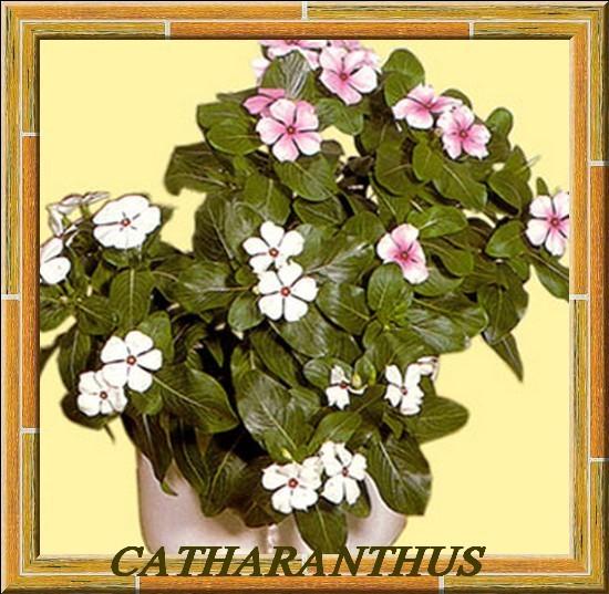 catharanthus.roseus