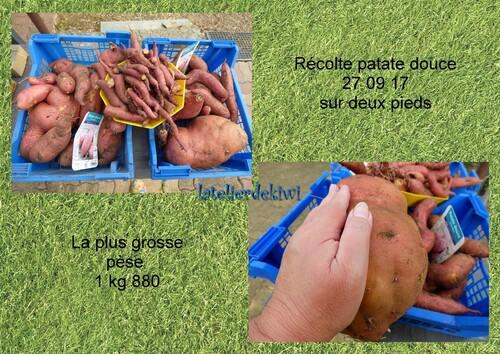 Récolte patate douce