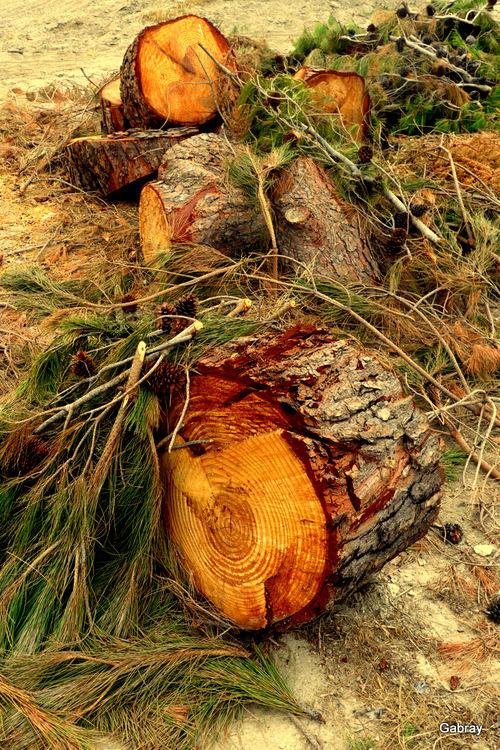 Barcarès: le pin à terre