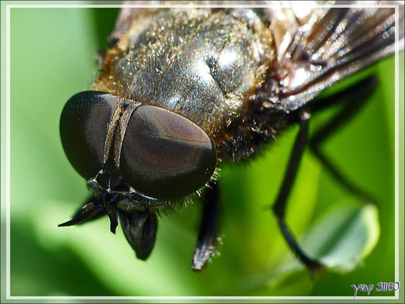 Gros taon femelle (Tabanus sp.) - Lartigau - Milhas - 31