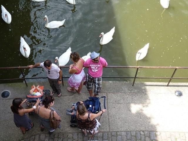 Metz les cygnes de la Moselle 8 été 2010