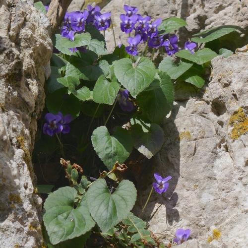 Violettes suspendues sur les rochers