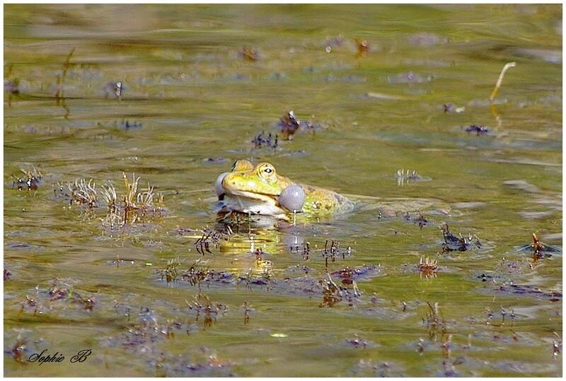 Les grenouilles .