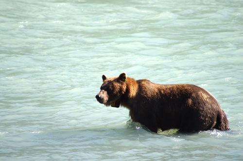 Au pays des ours, suite....