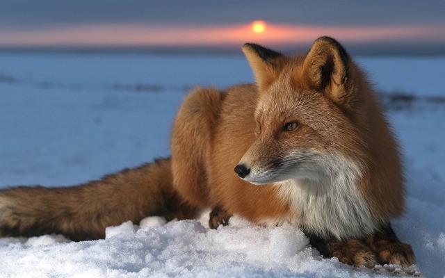 Renard au repos sur la neige
