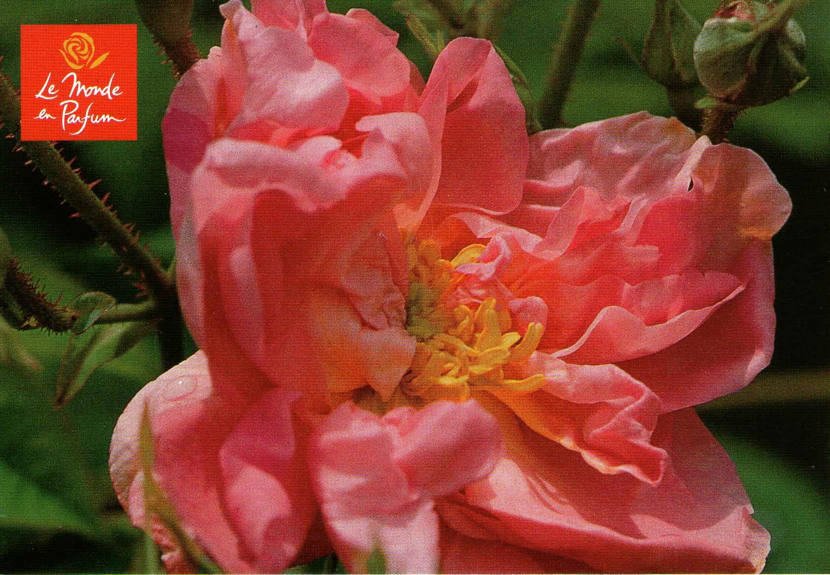 http://ekladata.com/ZXlkq_OlenFFN6WGcr1-Pz7UvFw/Rose-centifolia-Le-Monde-en-Parfum.jpg