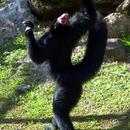 La danse su singe atèle  - Photo : Karin