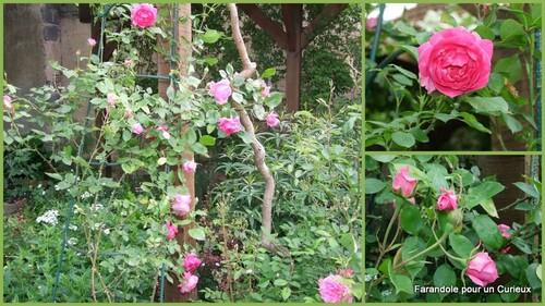 Mai 2014 : Rosiers en Fleurs
