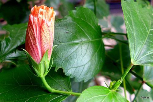 Les fleurs d'hibiscus ...