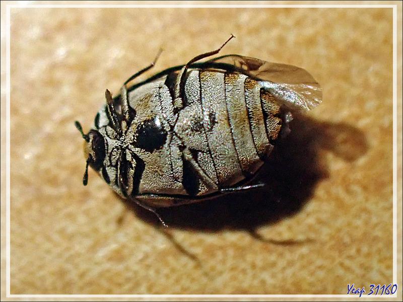 Dermeste des tapis ou Anthrène des tissus (Anthrenus verbasci) - Lartigau - Milhas - 31