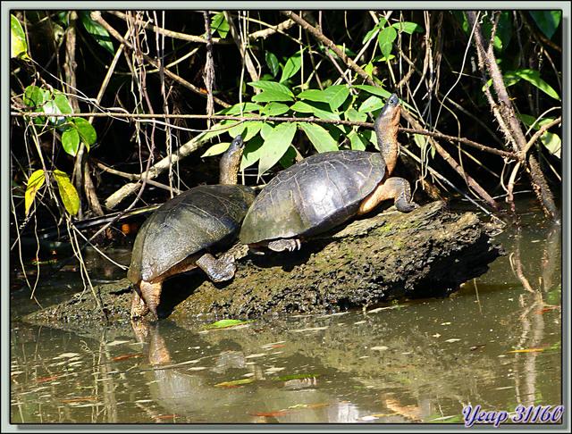 Blog de images-du-pays-des-ours : Images du Pays des Ours (et d'ailleurs ...), Mâle et femelle de tortues d'eau douce (terrestres, vivent près de l'eau) - Tortuguero - Costa Rica
