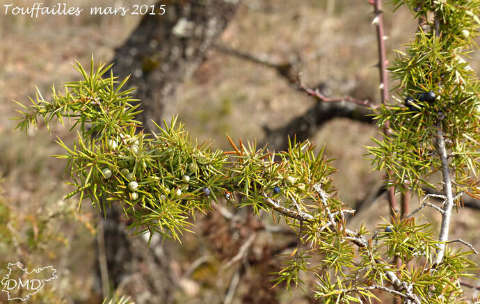 Juniperus communis - genévrier commun