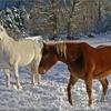 2-chevaux-sans-ronce.jpg
