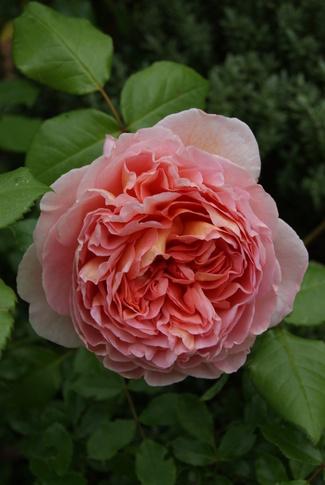 Le rosier ' Abraham Darby ' de David Austin me chavire.