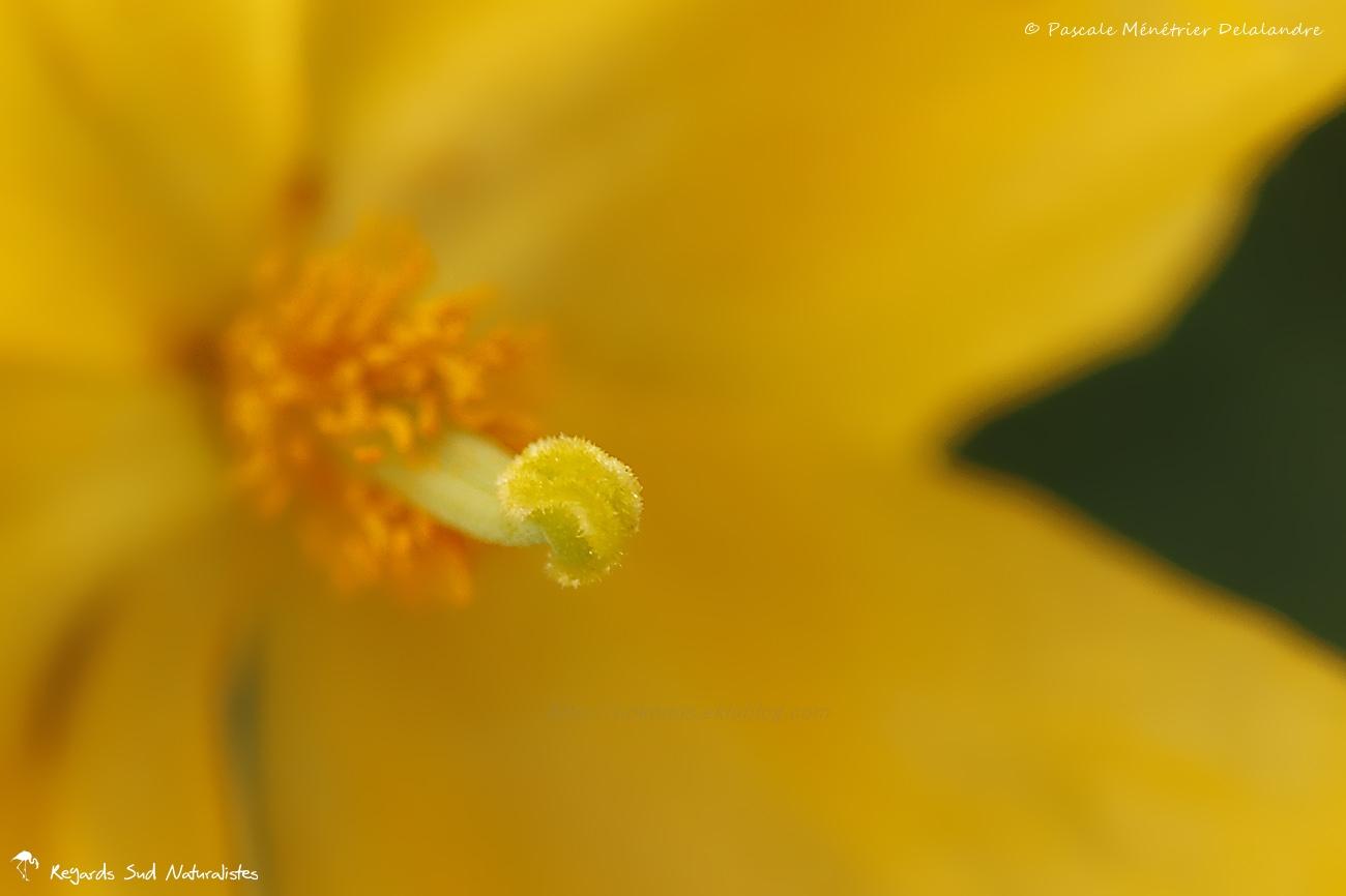 Glaucienne jaune, Pavot cornu ou Pavot jaune des sables - Glaucium flavum