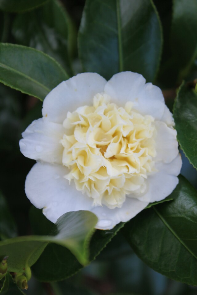 camelia Brushfield's Yellow