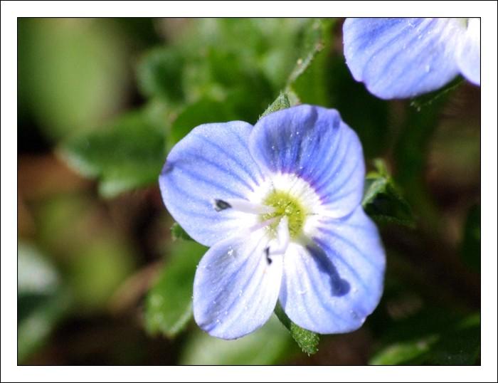 fleur bleue, fleurette bleue, macro, bonnette