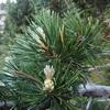 Les petits pins envahissent par endroits le sentier, attention au pollen en les frottant